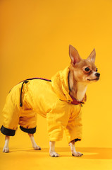 Chihuahua dog in studio on yellow background in yellow clothes