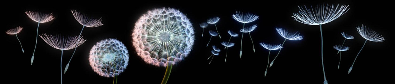 Pusteblumen vor schwarzem Hintergrund extremes Querformat