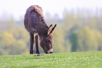 Donkey graze on the floral spring meadow