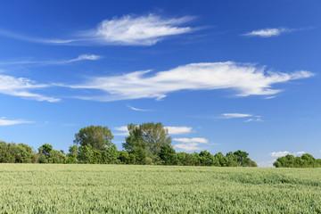 Blauer Himmel mit Wolken über Getreidefeld im Juni in Schleswig-Holstein