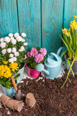Photo of colorful chrysanthemums in pots, watering cans near wooden fence