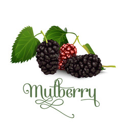 Mulberry. Vector illustration.