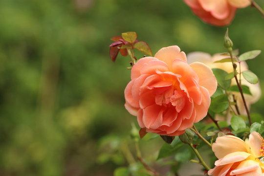 Peach Colored / Orange Pastel Rose / Flower