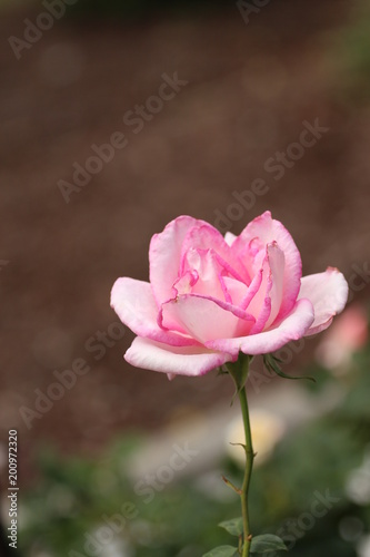 Small pastel pink rose flower with stem stock photo and royalty small pastel pink rose flower with stem mightylinksfo