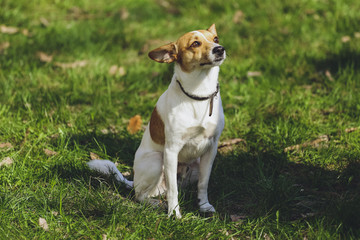 Beautiful dog Jack Russell Terrier in the park, in the forest