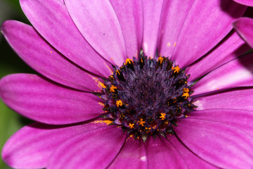 African Daisy flower close up