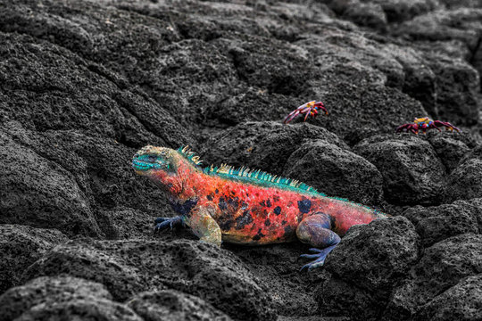 Christmas Iguana on Espanola Island on Galapagos Islands. Male Marine Iguana with Sally Lightfoot Crabs in background. Amazing animals wildlife and nature on Galapagos islands, Ecuador, South America.