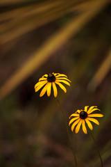 Gloriosa Daisy black-eyed susan flower