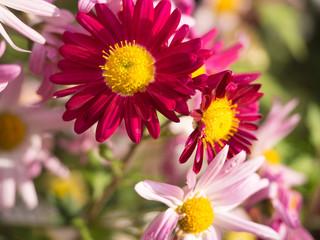 Magenta Chrysanthemum Flowers in the garden