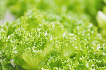 green fresh organic vegetable farm in beautiful light