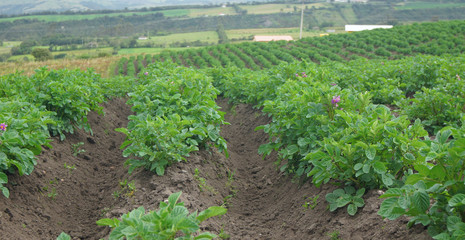 Field planted with potato plants. Scientific name: Solanum tuberosum L