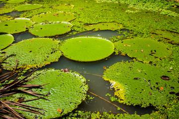 Lagoa com muitas plantas vitórias-régias e folhas. No museu da amazônia com plantas grandes no rio
