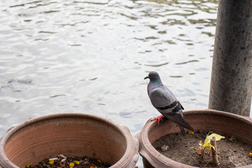 Grey Thai pigeons hanging on the edge of pot in front of the wave of muddy water.