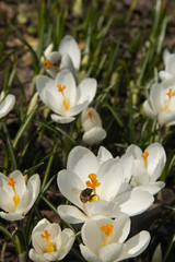 Bee on a snowdrop in sunny day