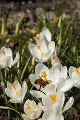 Bumblebee on a snowdrop in sunny day