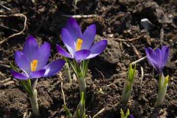 purple snowdrops under a bright sun