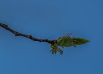 pąk na drzewie