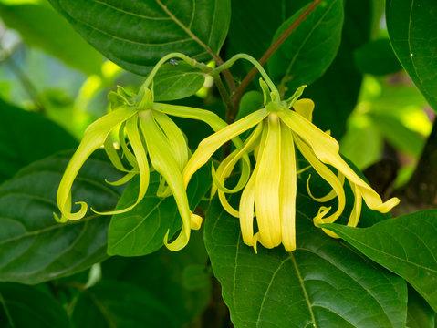 Close up of Dwarf Ylang-Ylang flower.