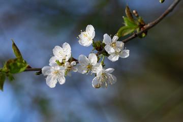 Geöffnete weiße Kirschblüten an einem Kirschbaum im Frühjahr