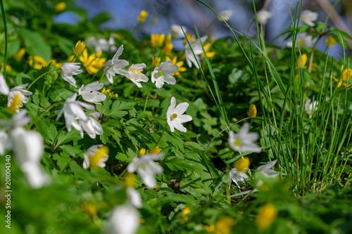 Viele weiß blühende Buschwindröschen auf dem Waldboden im Frühling ...