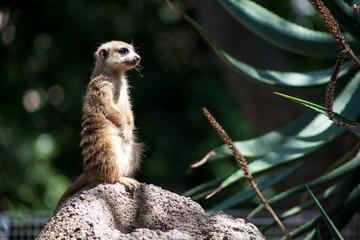 Perched Meerkat