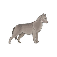 Grey wolf wild forest animal vector Illustration on a white background