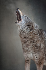 The wolf opened his mouth