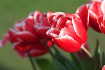 czerwono białe tulipany