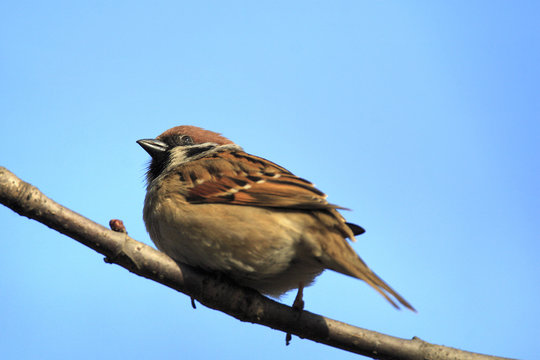 Single Tree Sparrow bird on a tree branch during a spring nesting period