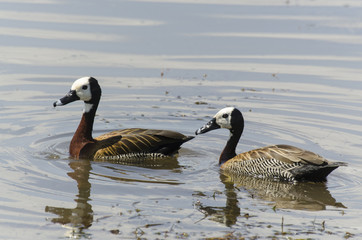 Dendrocygne veuf,.Dendrocygna viduata, White faced Whistling Duck, Afrique du Sud
