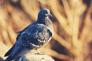 Proud dove pigeon basks on warm rays sunshine sun spring April