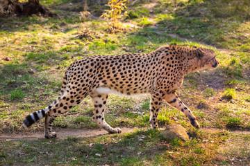 Beautiful cheetah walking careful on green fields