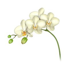 White orchid realistic white background. Tropical exotic flower. Vector illustration
