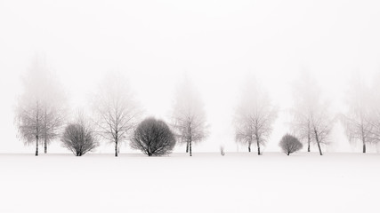 Tranquil scene of birches in winter morning fog