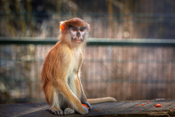 Patas monkey portrait in the zoo