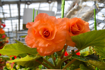 オレンジ色のベゴニア