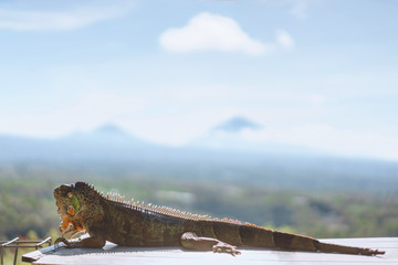 selective focus of sunbathing iguana with blue sky on background, Bali, Indonesia