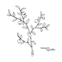 Ink drawing plant of blueberries