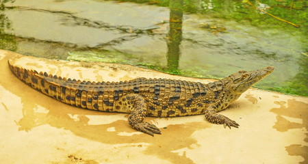small alligator crocodile on the shore of swamp