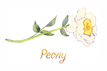 Soft pastel yellow peony flower, isolated on white hand painted watercolor illustration with inscription