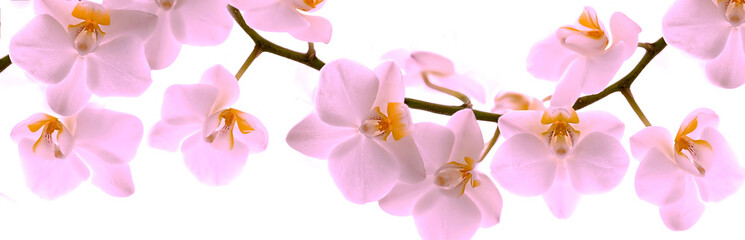 Papiers peints Orchidée Pale pink Orchid