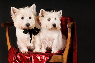 Zwei West Highland White Terrier sitzen auf einem Stuhl