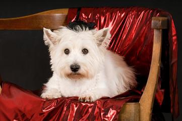 West Highland White Terrier liegt auf einem Stuhl