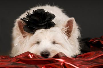 Schlafender West Highland White Terrier mit Rose