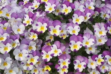 白と紫のかわいいパンジー - Beautiful purple and white pansy