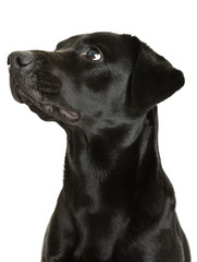 Dog black labrador