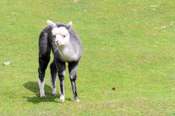 A young llama glama of gray color, grazes in the pasture on a spring sunny day. Lama guanicoe of camel family.