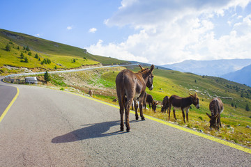 donkey animal in the road of Transalpina, Romania mountains