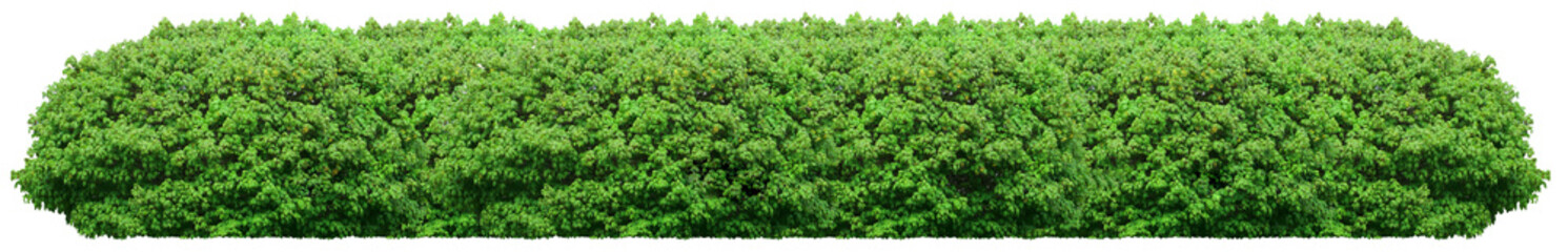 Fresh green bush isolated on white background