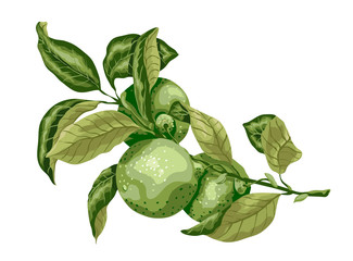 Lime fruit with leaves on the branch. Sweet sort of lime, Mexican type sort of lime. Graphic drawing desing for package and textile